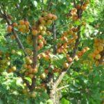 Особенности посадки и выращивания плодовых деревьев