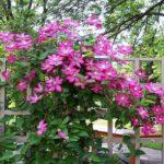 Питомник растений: озеленение и украшение территорий при помощи вьющихся растений